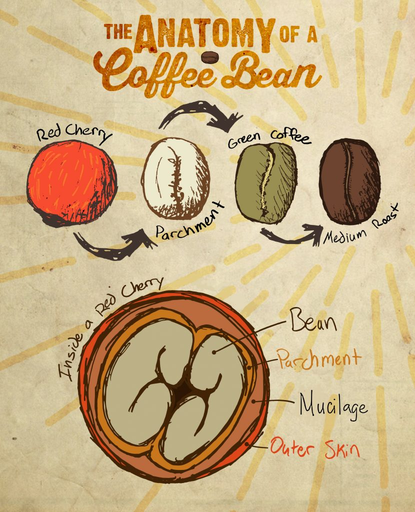bean to cup-way of coffee- barista guide