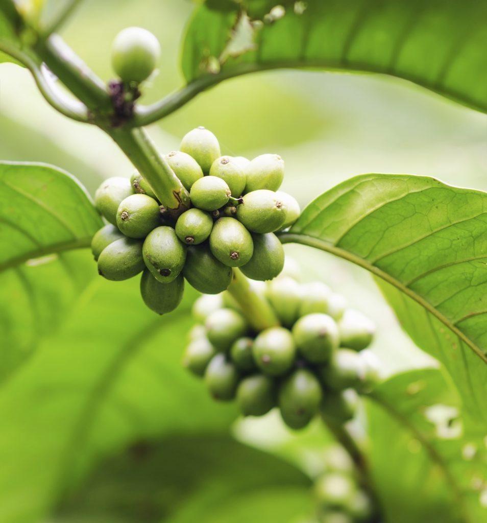 coffee cherries-beans-grean beans